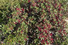 Red fruits and leaves of Pistacia lentiscus or Mastic tree - Karpathos island, Greece. Mediterranean shrub, aromatic tree with red drupes - Trapani Zingaro park stock photos