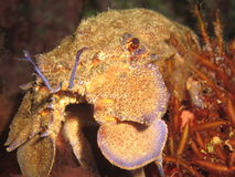 Mediterranean slipper lobster. Close up of a mediterranean slipper lobster (Scyllarides Latus, also known as greater slipper lobster). Photo was taken in waters stock images