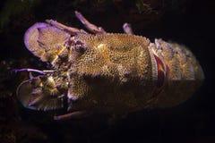 Free Mediterranean Slipper Lobster Scyllarides Latus Royalty Free Stock Photo - 147746215