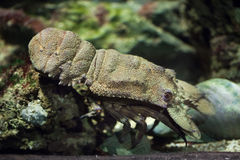 Free Mediterranean Slipper Lobster (Scyllarides Latus). Stock Photo - 70081540
