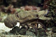 Free Mediterranean Slipper Lobster (Scyllarides Latus). Stock Images - 70454684