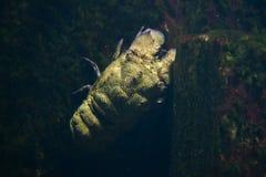 Mediterranean slipper lobster Scyllarides latus Stock Photos