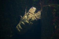 Free Mediterranean Slipper Lobster Scyllarides Latus Royalty Free Stock Photos - 83423448