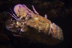Mediterranean slipper lobster Scyllarides latus. Also known as the Mediterranean locust lobster stock image