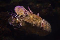 Mediterranean slipper lobster Scyllarides latus. Also known as the Mediterranean locust lobster royalty free stock images