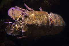Mediterranean slipper lobster Scyllarides latus. Also known as the Mediterranean locust lobster royalty free stock photo