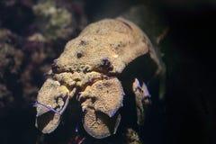 Mediterranean slipper lobster, Scyllarus pygmaeus. Closeup view of a mediterranean slipper lobster, Scyllarus pygmaeus royalty free stock photography