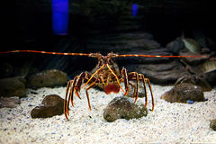 Mediterranean spiny lobster Stock Photo