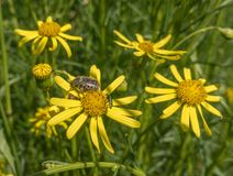 Mediterranean Spotted Chafer beetle on flowers. A Mediterranean Spotted Chafer, Oxythyrea funesta, feeding on the pollen of yellow Asteraceae flowers at a south Stock Images