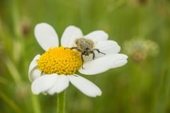 A Mediterranean Spotted Chafer on Camomilla. A Mediterraanean Spotted Chafer, Oxythyrea funesta, on a Camomilla tomentosa flower, Anacyclus clavatus, at a Stock Images