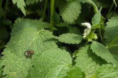 Jumping spider on Nettle plant flower Royalty Free Stock Photo