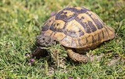 Mediterranean Spur-thighed Tortoise Crawling Royalty Free Stock Image