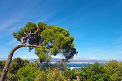 Mediterranean stone pine. Royalty Free Stock Photography
