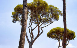 Mediterranean stone pine trees. At Borghese Villa garden in Rome. Botanical name Pinus pinea, is also called the Italian, umbrella or parasol Stock Photo