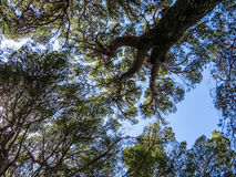 Mediterranean stone pine trees Royalty Free Stock Images