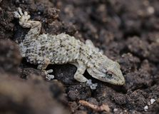Mediterranean Tarentola mauritanica lizard detail. A lizard, Tarentola mauritanica a species of gecko native to the western Mediterranean area of Northwestern Stock Photography
