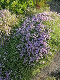 Mediterranean thyme. Grows in dry heaths and rocky places all round the sunny Mediterranean. It is also know as: Persian Hyssop, Thymbra capitata, and it is a Royalty Free Stock Photo