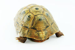 Mediterranean tortoise.Testudo graeca. Royalty Free Stock Photo