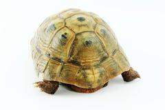 Mediterranean tortoise.Testudo graeca. royalty free stock photo