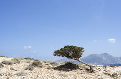 Mediterranean tree. On arid soil in Koufonissi island, Greece Stock Images