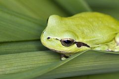 Mediterranean tree frog. Close up view of a Mediterranean Tree Frog (Hyla meridionalis) on a leaf Stock Photo