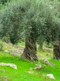 Mediterranean trees. Olea europaea L., 1753 Royalty Free Stock Photo