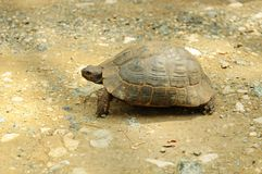 Mediterranean turtle Royalty Free Stock Image