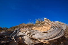 Mediterranean twisted dried juniper trunk in Formentera Stock Photo