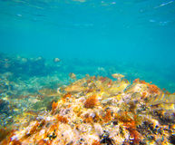 Mediterranean underwater with salema fish school Royalty Free Stock Photos