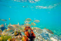 Mediterranean underwater with salema fish school Stock Photos