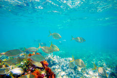 Mediterranean underwater with salema fish school Stock Photography