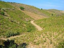 Mediterranean vineyard Royalty Free Stock Image