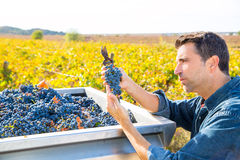 Mediterranean vineyard farmer harvest cabernet sauvignon Royalty Free Stock Images