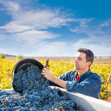 Mediterranean vineyard farmer harvest cabernet sauvignon. Mediterranean vineyard harvest farmer farming cabernet sauvignon grape field in Spain Stock Photo
