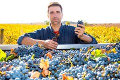 Mediterranean vineyard farmer harvest cabernet sauvignon Stock Images