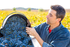 Mediterranean vineyard farmer harvest cabernet sauvignon Royalty Free Stock Photography