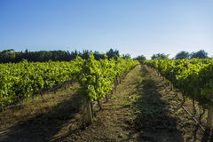 Mediterranean  Vineyard Stock Photo