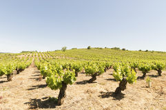 Mediterranean vineyards in Castilla y Leon north of Spain Royalty Free Stock Photo