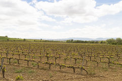 Mediterranean vineyards in Castilla y Leon north of Spain Royalty Free Stock Images