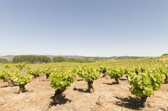 Mediterranean vineyards in Castilla y Leon north of Spain Royalty Free Stock Photos