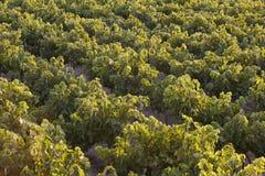 Mediterranean vineyards at sunset in Crete. Greece Royalty Free Stock Image