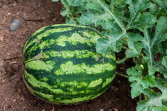 Mediterranean watermelon in garden Stock Photography