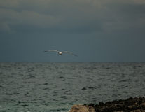 Meditterranean Seagull on flight Royalty Free Stock Images