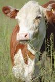 Medium Close on a Holstein Dairy cow Royalty Free Stock Photos