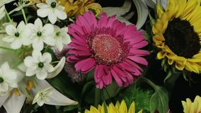 Dying gerbera between other flowers time lapse. Medium close up motion time lapse shot of a dark pink gerbera dying amongst various flowers in a colorful bouquet stock footage
