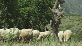 Medium close up, sheep grazing in mountain areas stock footage