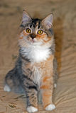 Medium-Haired Torbie with White Kitten Stock Photo