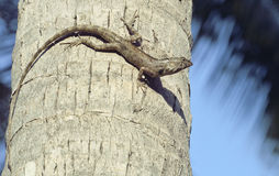 Medium lizard in wild nature on palm tree Royalty Free Stock Image