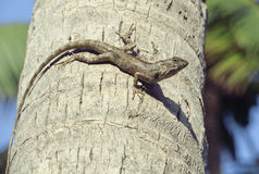 Medium lizard in wild nature on palm tree Stock Images