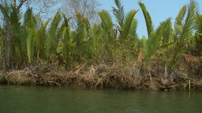 Nipa Palms at a river bank, Kangy River, Myanmar. Medium low-angle slow moving dolly shot of bushy nipa palms along a calm river bank, Kangy River, Myanmar stock footage